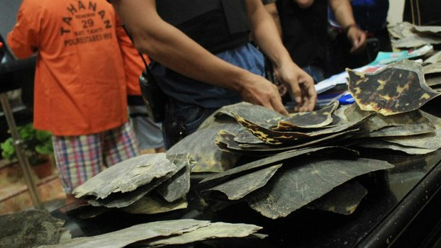 Indonesian police display some 200 kgs (440 lbs) of turtle shells as evidence after detaining two Chinese suspects (back L) in Makassar, in South Sulawesi, Feb. 1, 2018.