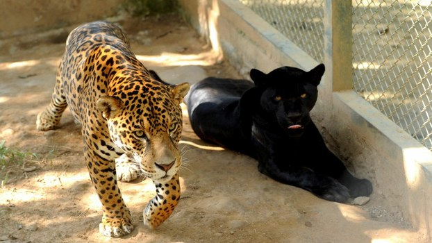 Captive jaguars an at a sanctuary for endangered big cats which cannot return to nature, has a sanctuary, Goias, Brazil, in file photo.