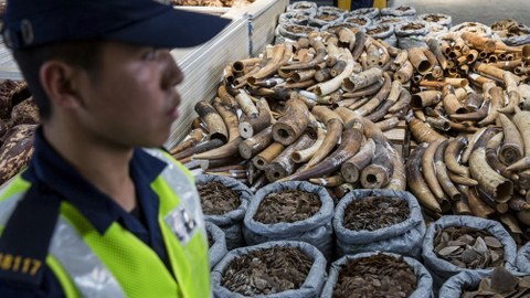 A Hong Kong Customs officer (L) stands next to seized endangered species products (R) including elephant ivory tusks, pangolin scales and shark fins at the Kwai Chung Customhouse Cargo Examination Compound in Hong Kong, Sept. 5, 2018.