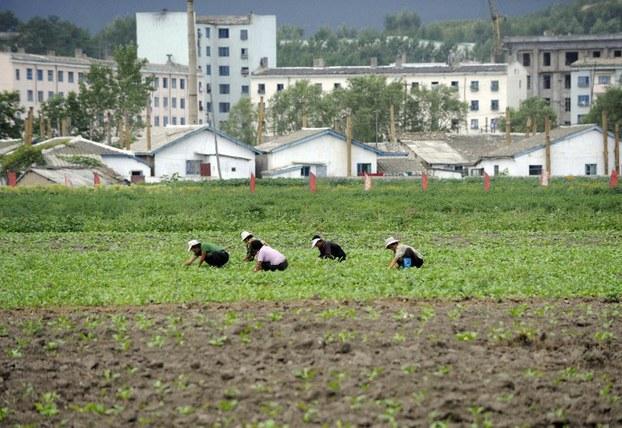 Farmers tend their field near Rason, North Korea, in a file photo.