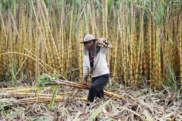 Korn Art, 38, shoulders sticks of sugarcanes to load onto an ox-cart at a farm in Kandal province, Cambodia in a file photo.