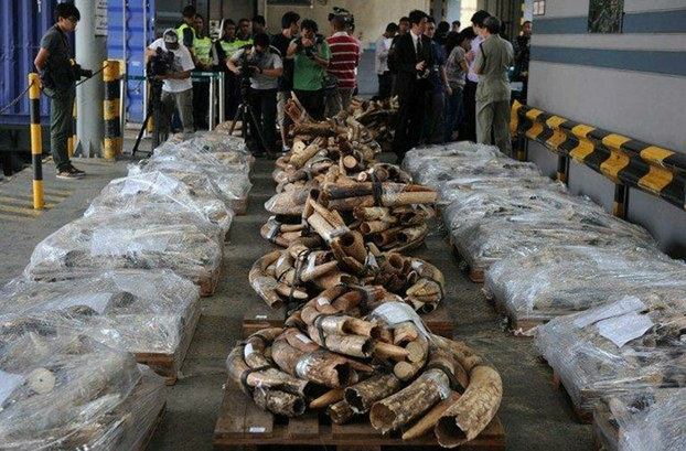 This undated file photo shows nearly four tons of illegal ivory Hong Kong Customs police seized in one anti-smuggling operation.