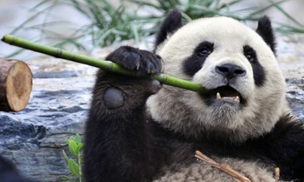 China's native giant panda, which was recently classified as vulnerable rather than endangered by the International Union for Conservation of Nature, in undated photo.