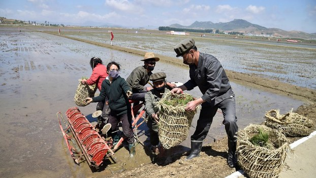 Workers plant rice at North Korea's Chongsan Cooperative Farm in the Kangso district of Nampho City, May 12, 2020.