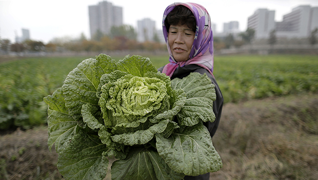 A farmer carries a fully grown cabbage at a farm on the outskirts of Pyongyang.