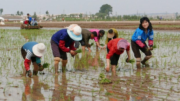 In this May 17, 2019, photo, North Korean farmers plant rice seedlings in a field at the Sambong Cooperative Farm, South Pyongan Province, North Korea.