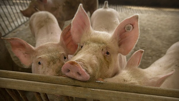Pigs stand in a barn at a pig farm in Jiangjiaqiao village in northern China's Hebei province on May 8, 2019. Pork lovers worldwide are wincing at prices that have jumped by up to 40 percent as China's struggle to stamp out African swine fever in its vast pig herds sends shockwaves through global meat markets.