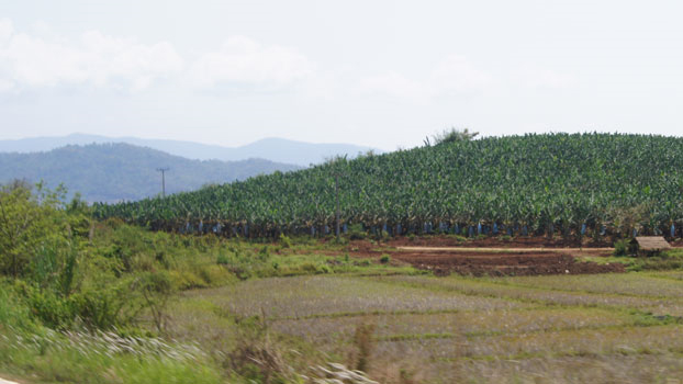 Banana farms like this one in Oudomxay province are known to pollute rivers.