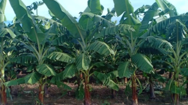 Bananas grow on a plantation in southern Laos in a file photo.