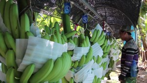 In this video screenshot, bananas in Laos are packed with foam prior to shipment.