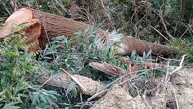 A section of timber felled by smugglers in Laos's Xesap forest is shown in a May 2018 photo.